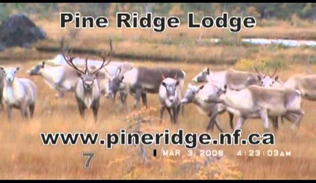 Pine Ridge Lodge Newfoundland Woodland Caribou Hunting
