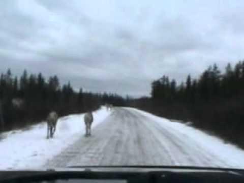 quebec caribou hunting  2