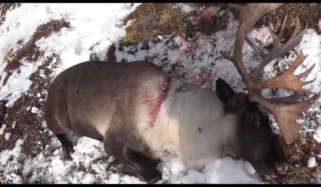 Redfern Hunting Trip: Caribou Chase