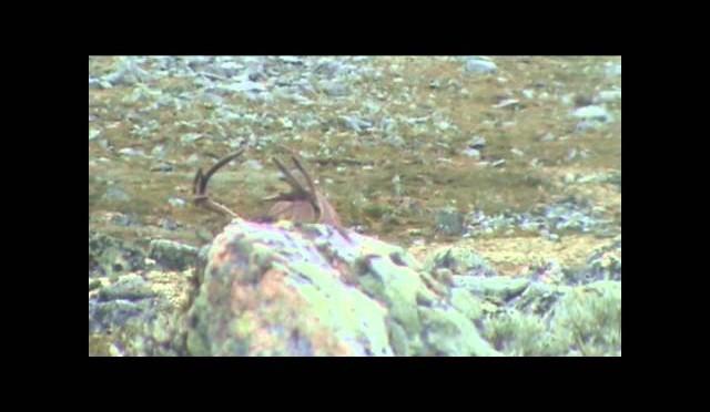 Reinsjakt/Caribou hunting