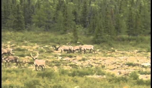 Rifle Caribou Hunt Canada – Teterhorn