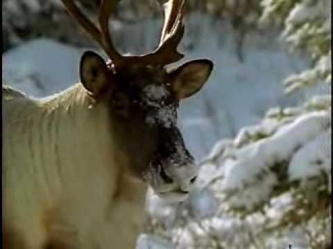 The Caribou (30 seconds)