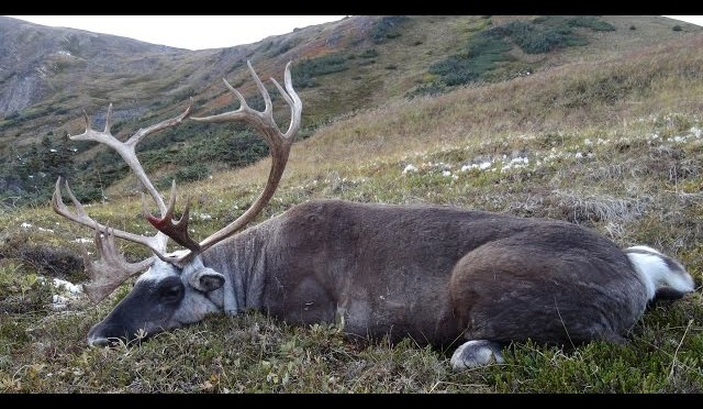 Travis Volk hunting Mountain Caribou in Northern BC