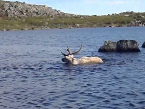 White wolf hunts a caribou