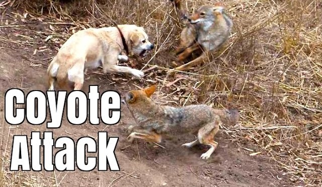 Coyote Attacks Cat –  Dog Saves Cat