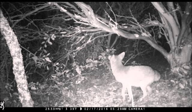 coyote looks for bait in tree