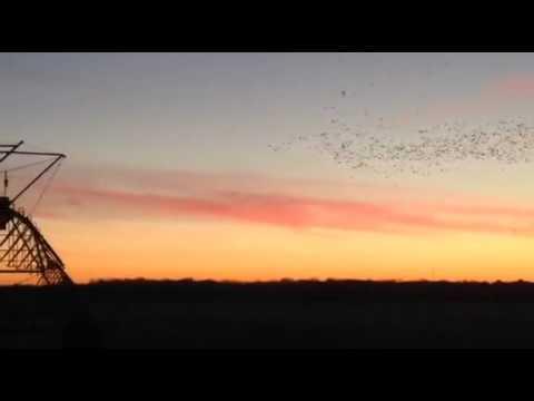 Spring snow goose hunts NY