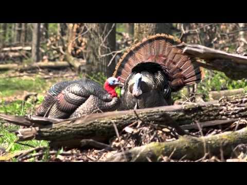 Close Encounter Turkey Bow Hunt