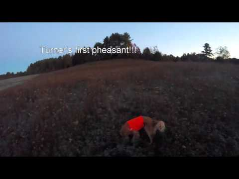 Hunting With Tom   Maine Pheasant 2015