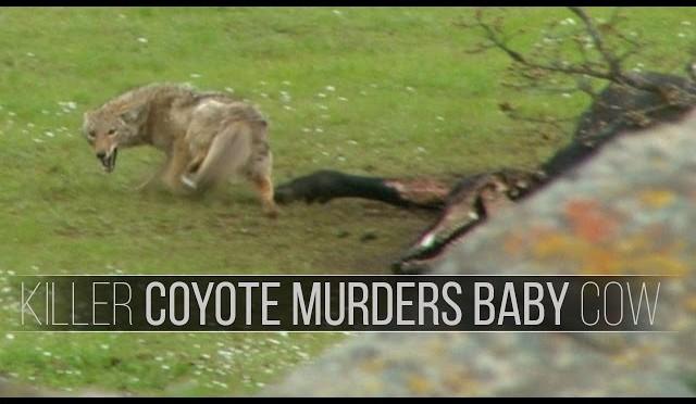 Killer Coyote Meets Hunter – Predator Archery Kill