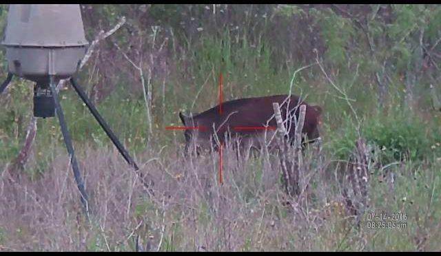 South Texas Boar Hog hunting with ATN X-Sight digital rifle scope