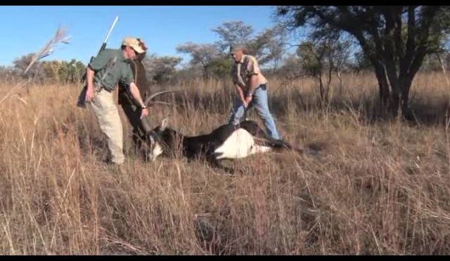 A majestic Sable antelope Hunt in Africa