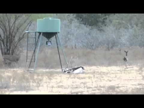 Caroline Tauzin Blackbuck Antelope Hunt Hondeaux Oaks Ranch