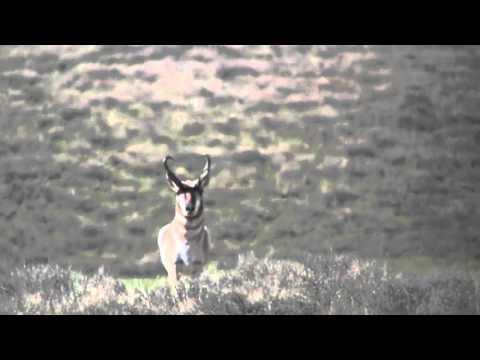 Nevada Antelope Hunting