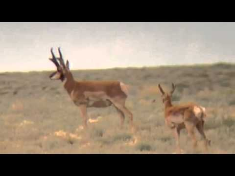 New Mexico Pronghorn antelope scouting (slim jim)