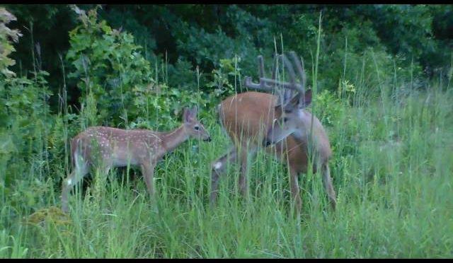 cont.  DEER –  Sweet Momma Doe and her fawns meet the Bucks 7-30-2016