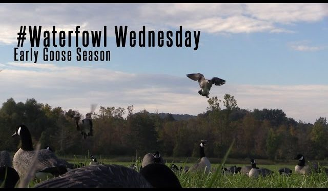 Waterfowl Wednesday – Early Season Goose Hunting