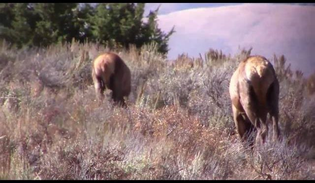 AJ's Montana Elk Hunt