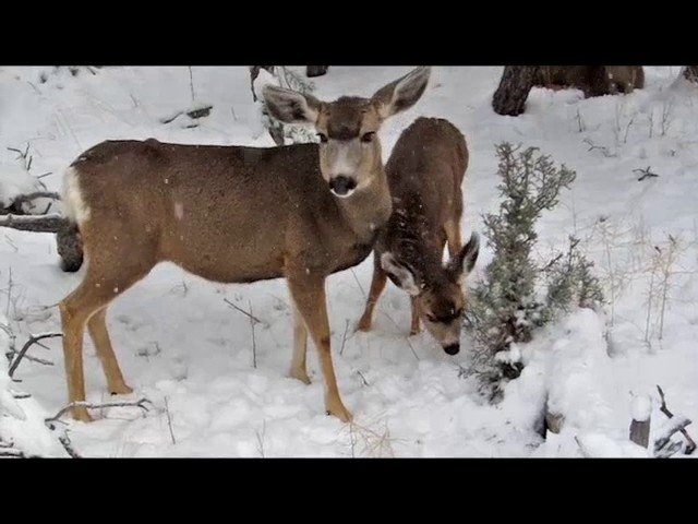 BOWHUNTING: Winter Bow Deer Harvest Hunt In The Snow- alive