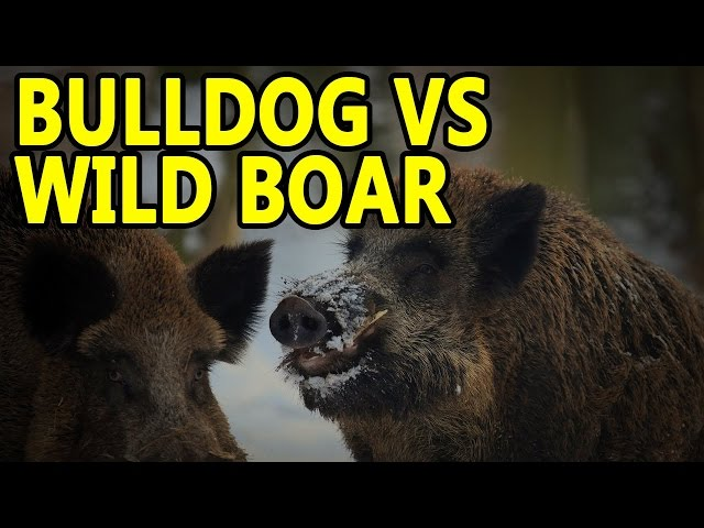Pitbull vs Wild hog ll PITBULL Hunting Wild Boar, Wild Dog