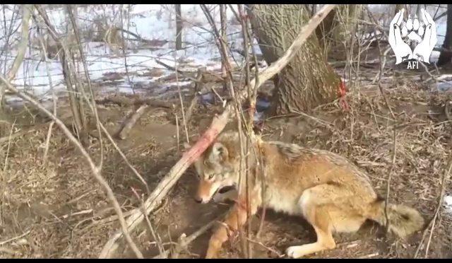 canada goose jacket killing coyotes