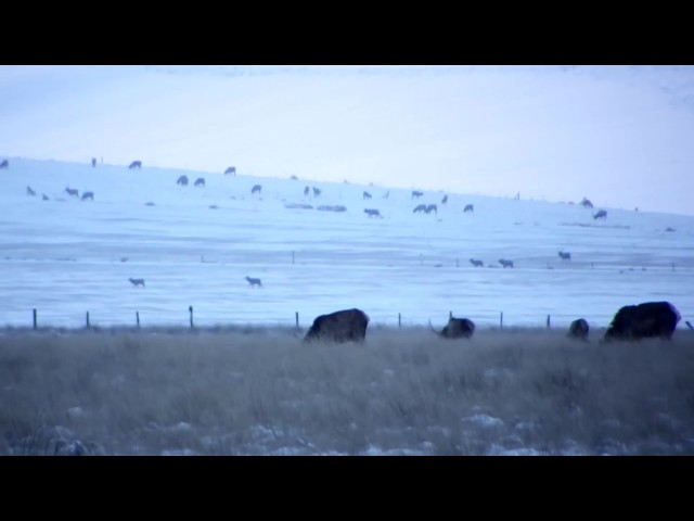 Elk Feeding In The Fields Huntingvideoshub Com