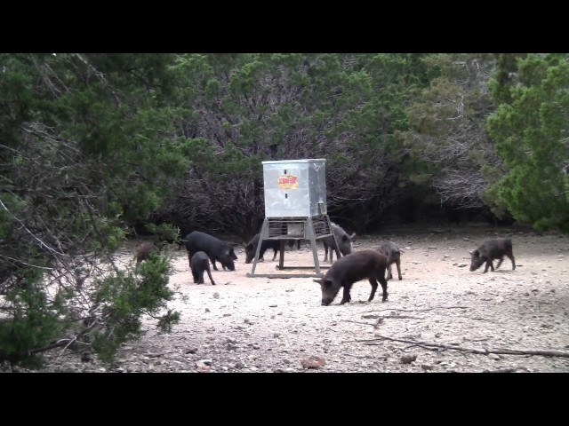 Hog hunt at db hunting ranch with a 45 caliber airforce for Db ranch