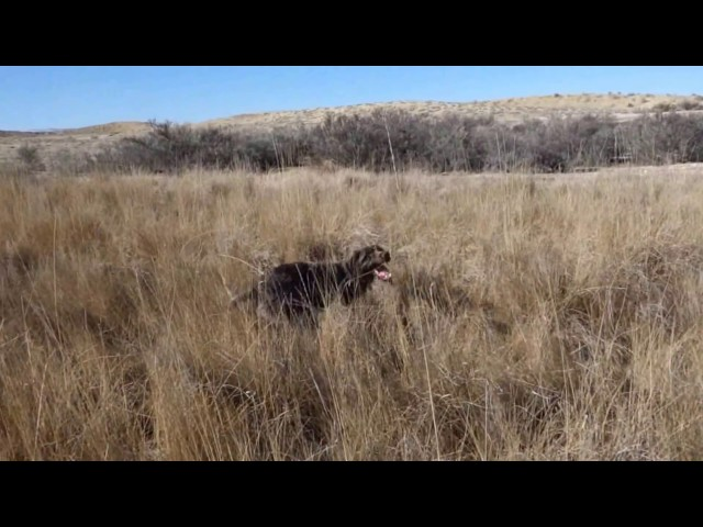 Pheasant Hunt With My Wirehaired Pointing Griffon