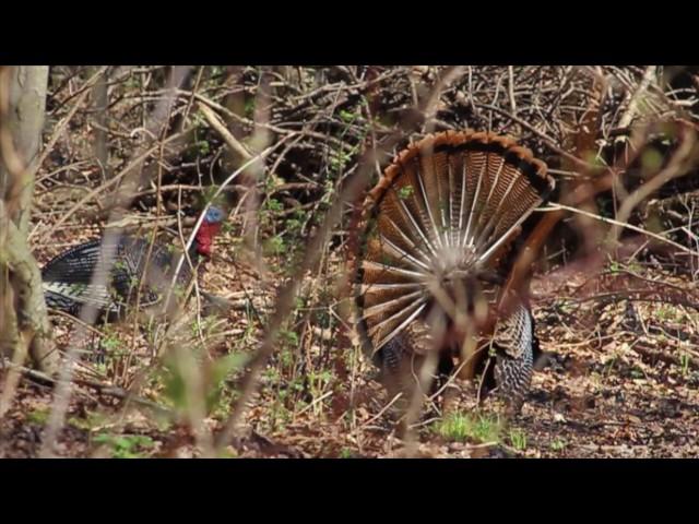 2017 wi week one turkey hunt huntingvideoshub com