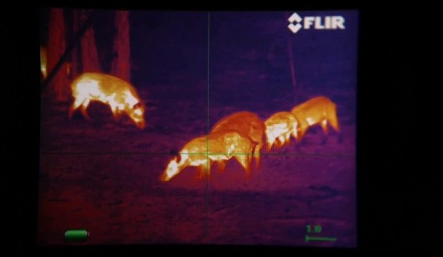 Thermal Hog Hunting in Florida w/ West Shore Outfitters