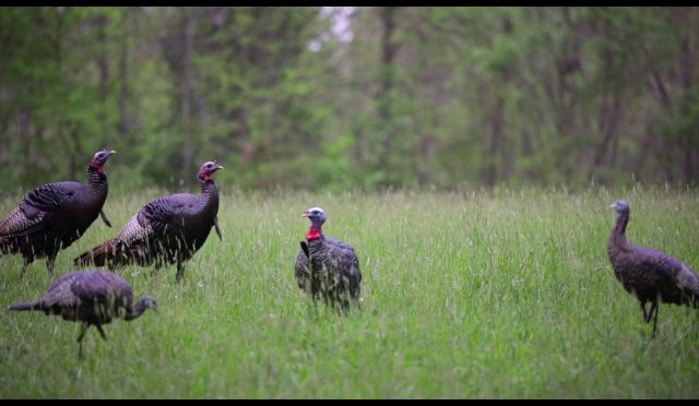 Turkey Decapitation Archery Hunt 2017