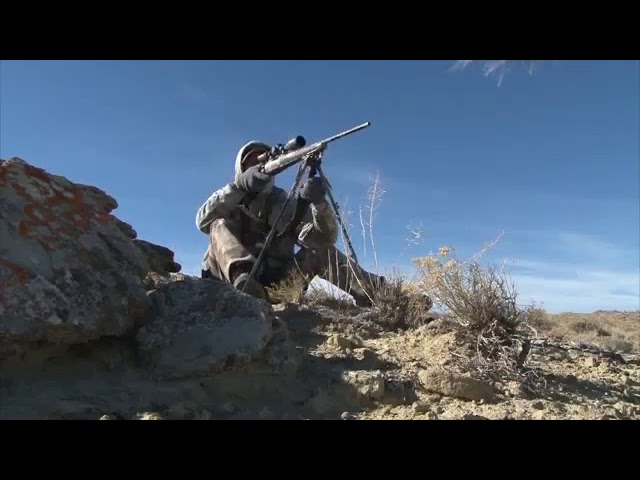 Coyote Hunting With Live Cottontail