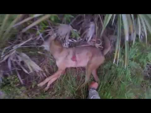 Coyote bow hunt