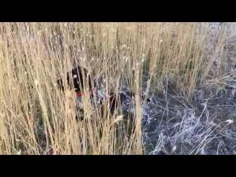 Quinebaug's Elsa Anderson pheasant hunt 9-30-17