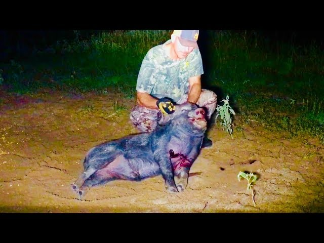 Wild Boar Hog Taken With 223 After It Blows Out The Night Before