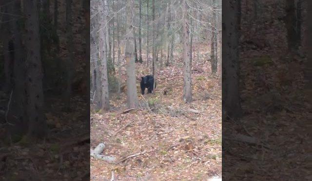 Black bear bow hunting new brunswick