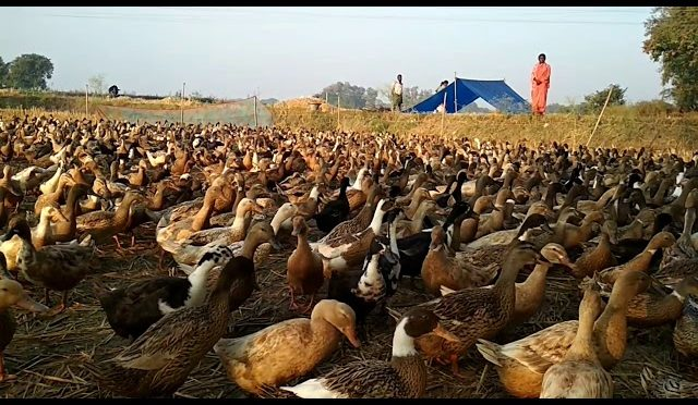 Duck Farming in india | The Duck Song | Duck Calls | Duck Hunting| Duck Hunt