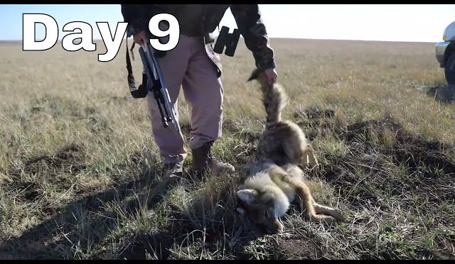 Semi-Live Hunt Day 9: Coyote Conservation