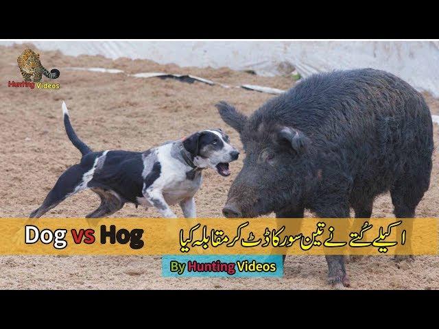 Dog vs Hog – dog fight 3 wild boar – by Hunting Videos