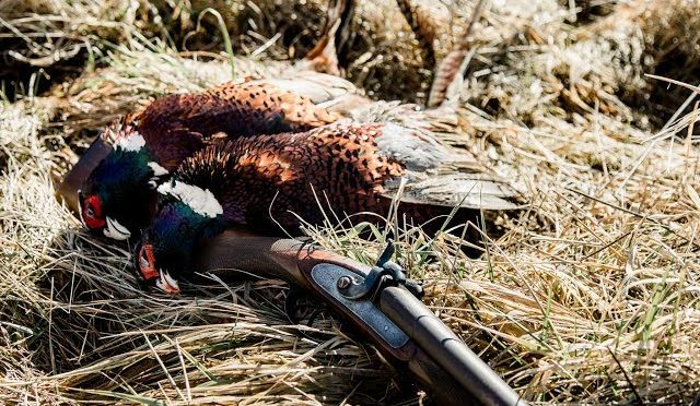 Pheasant Hunt With 150 Year Old English Muzzleloader