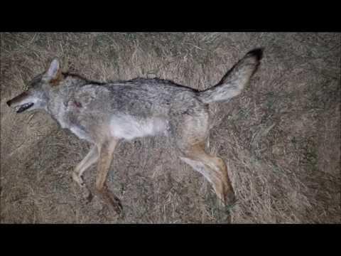 Pulsar Digisight Ultra – Beaver & Coyote
