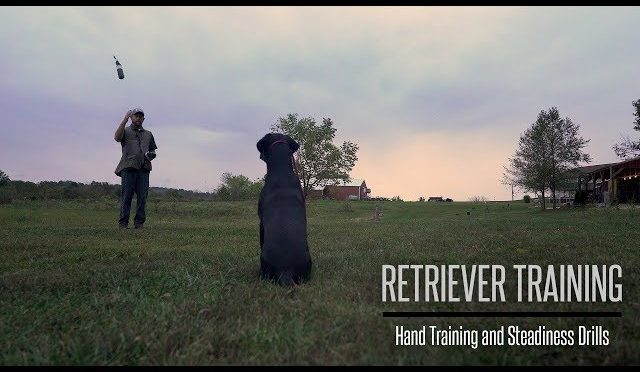 Formal Hand Training and Steadiness With Your Gundog - Hunting Dog