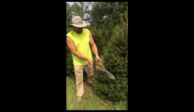 Trimming Norway Spruces for Deer Hunting Habitats
