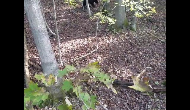 Bear visits my tree stand while hunting in Gate City,VA