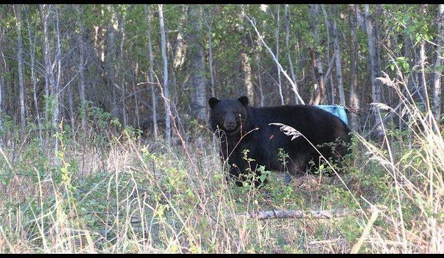 Northern Alberta bear hunt!