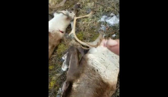 2018 Alaska 40 mile herd caribou hunt #browndownhunting🦌👇