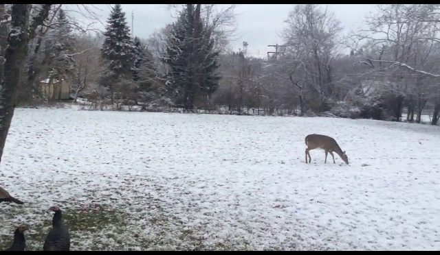 8 Point Pennsylvania buck attacking doe..deer hunting trophy rules laws places to hunt gun