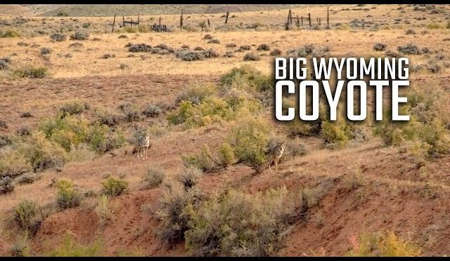 BIG Wyoming Coyote – Coyote Hunting