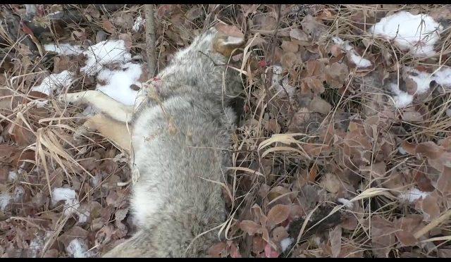 Coyote 640+ Yards Sako 204 Ruger - HuntingVideosHub com