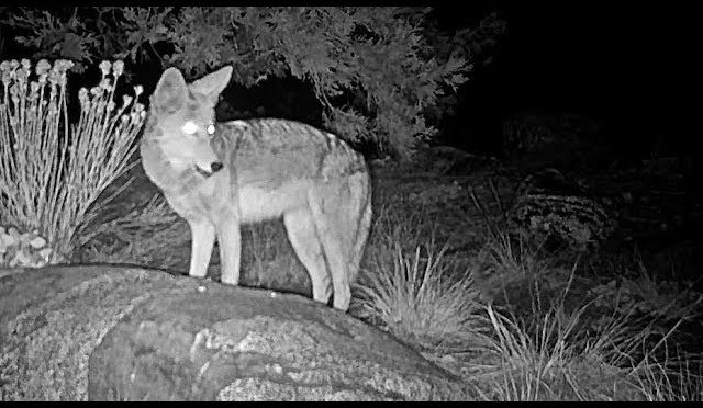 coyote hunting for a mouse